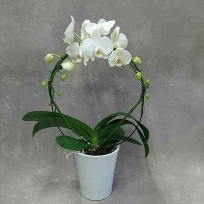 Orkideakaari