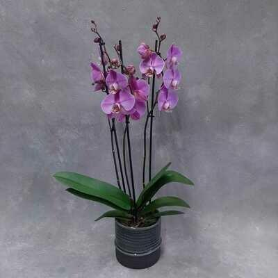 Liila orkidea