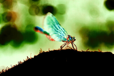 Dragonfly Slumber - Blank Greeting Card - 105mm X 75mm