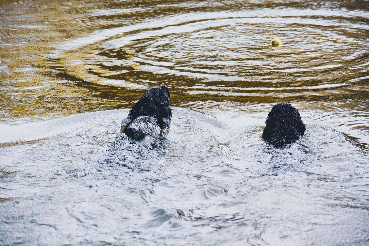 Wave - Dogs at River - Fine Art Card
