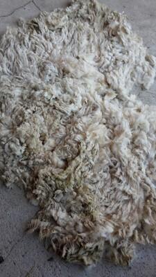 Rohwollvließ vom Schwarzkopfschaf  (Jährlingswolle + Altschafwolle verfügbar) sehr schön zum verspinnen