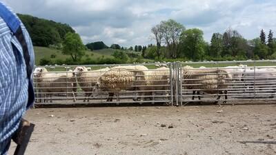 Gartenwolle 8kg  Rohwolle