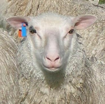 FINN-SHEEP FIBER/FLEECES, various colors, 800g+, $25-$60 P.O.A.  Click here for further information.
