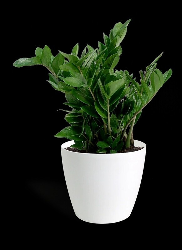 ZZ plants with white planter