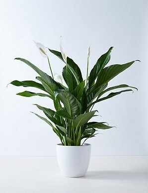 Peace Lilly with planter, plastic pot