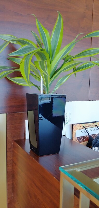 Yellow lemon light dracena with self-watering planter from Lechuza