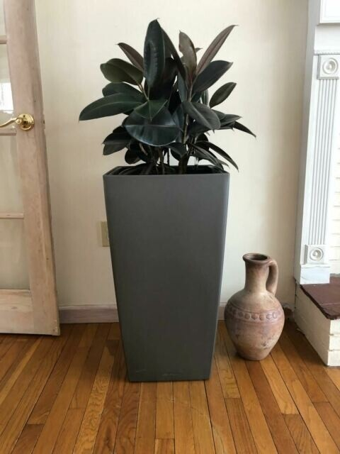 Rubber plant in Lechuza self watering planter