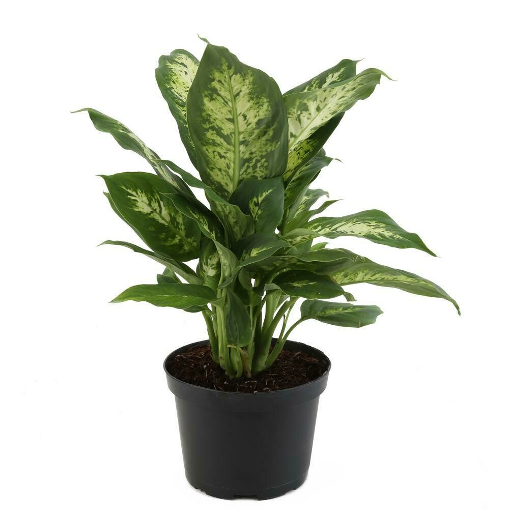 Dieffenbachia Easy to Grow Live House Plant, 6-inch Black Grower's Pot