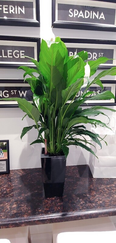 Peace lilly in lechuza self watering planter