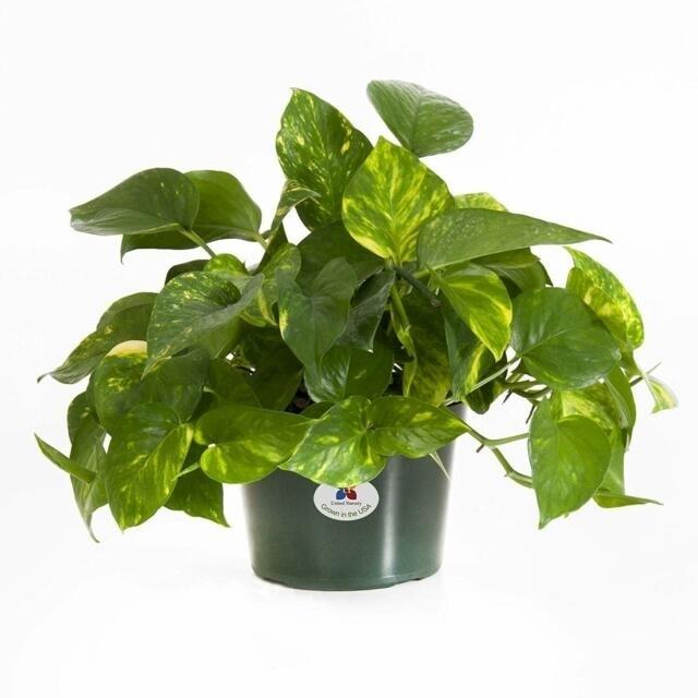 6 in Pothos plants