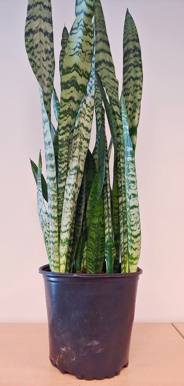 "8"" ,growpot snake plants"