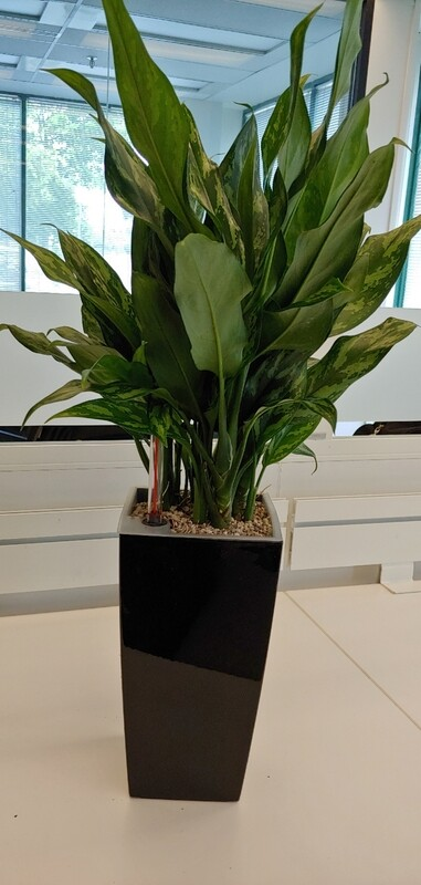 Aglo plant with self watering planter black