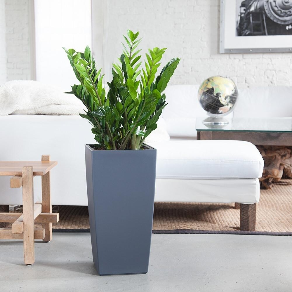 ZZ plants with Lechuza self watering planter