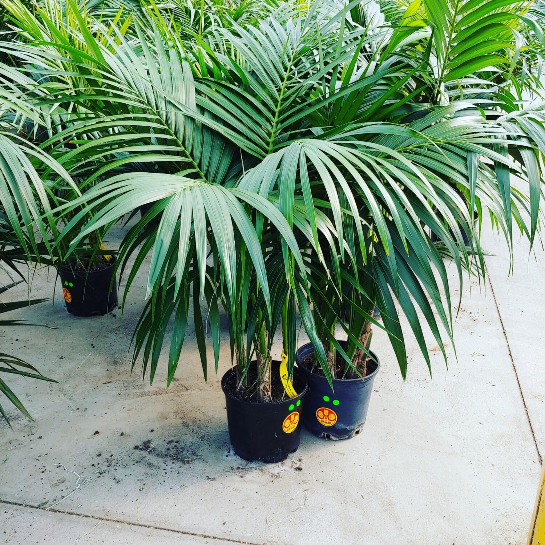 Kentia palm well grown in Hawai