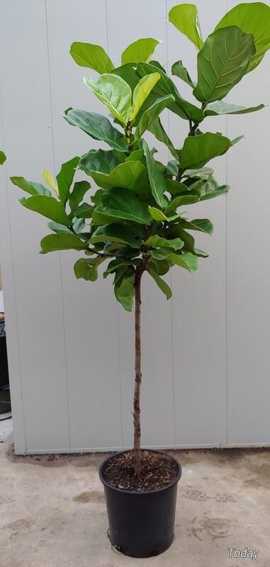 Fig tree 14