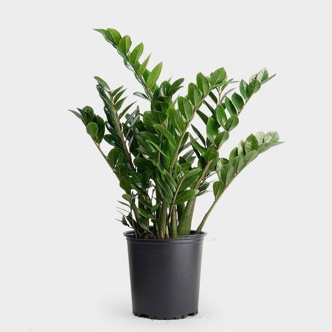 "ZZ Plant 10"" Growpot"