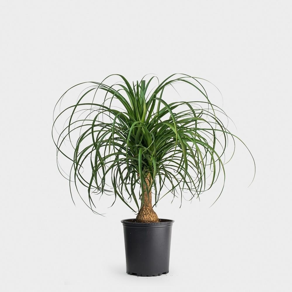 """Ponytail palm 10"""" grow pot"""
