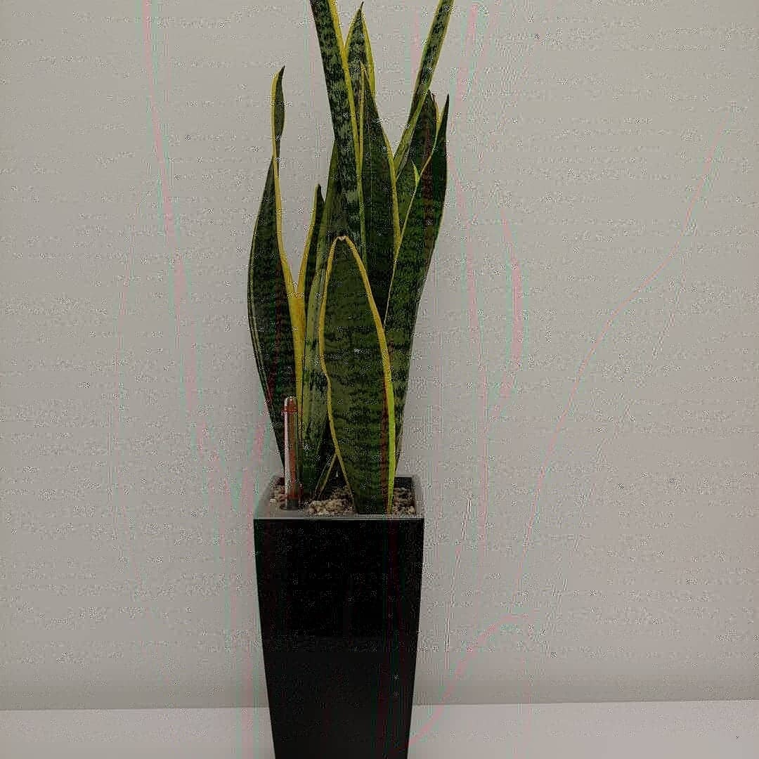 Snake plants in planter