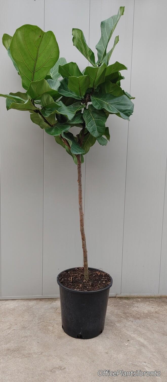Tall fig tree 6 feet