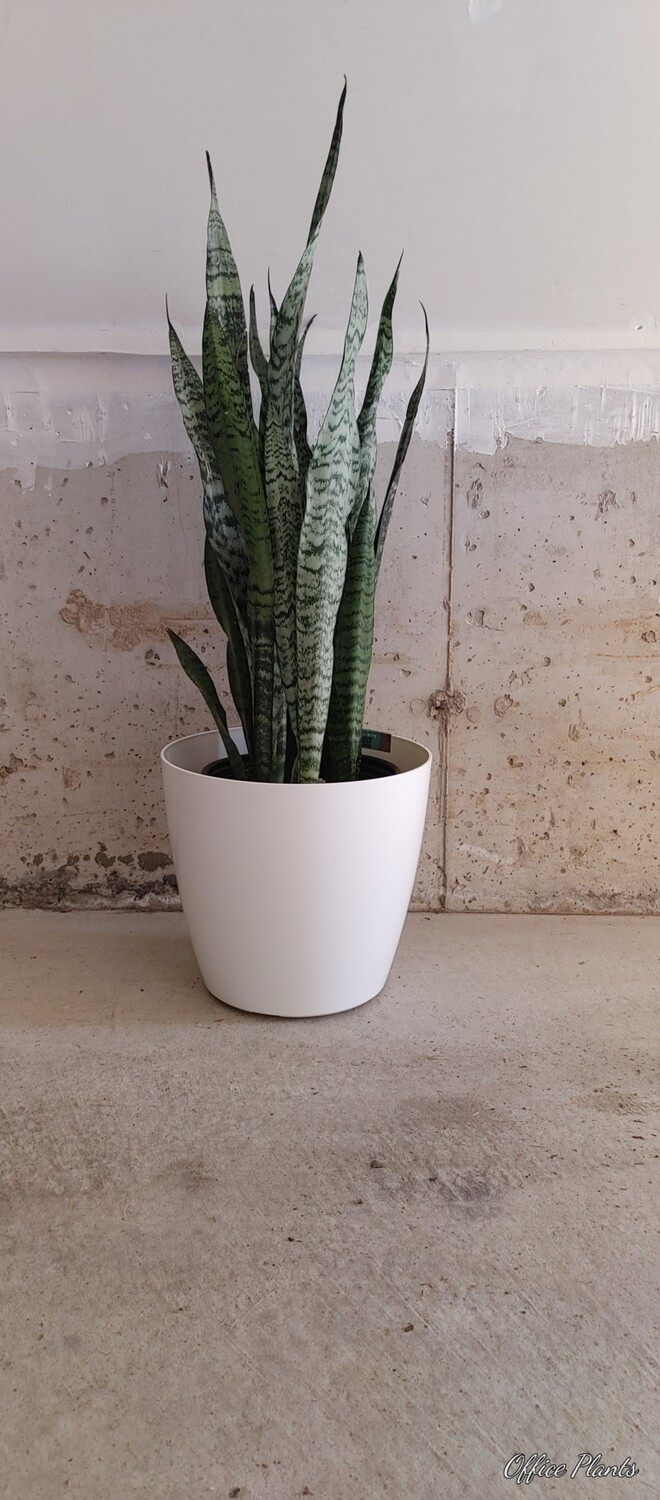 Snake plants tall with white planter