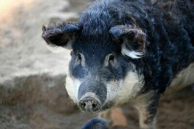Pack de porc mangalitza Bio Suisse 01.10.2021