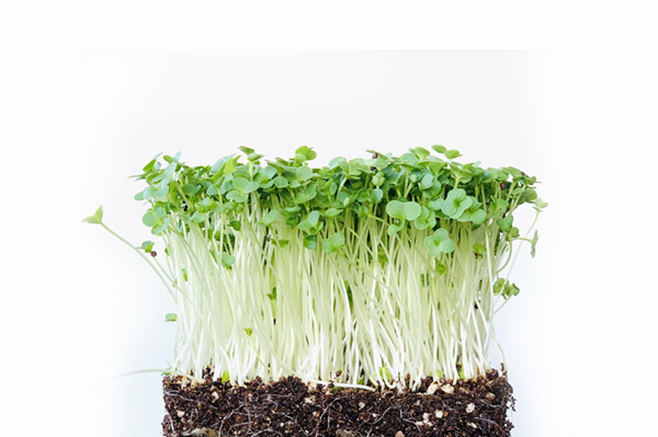 Broccoli Sprout 200g