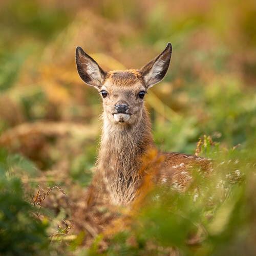 Red Deer, hind, in bracken
