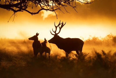 Red Deer, silhouette