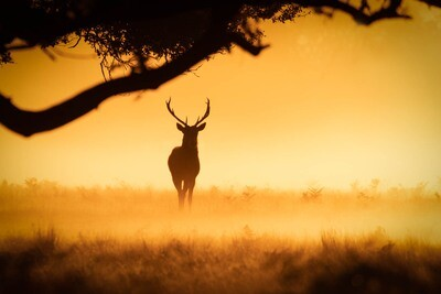 Red Deer stag, silhouette II