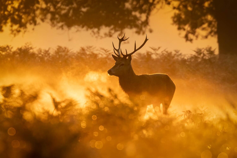 Red Deer stag, Bushy Park III