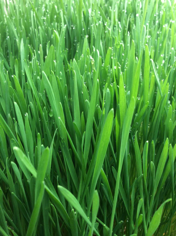 Sprouts Wheatgrass 1/2 lb. ORGANIC