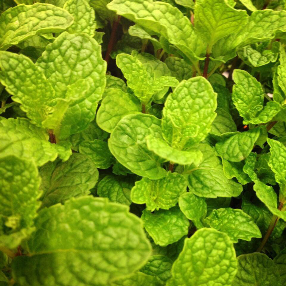 Herb Mint That's Tasty ORGANIC