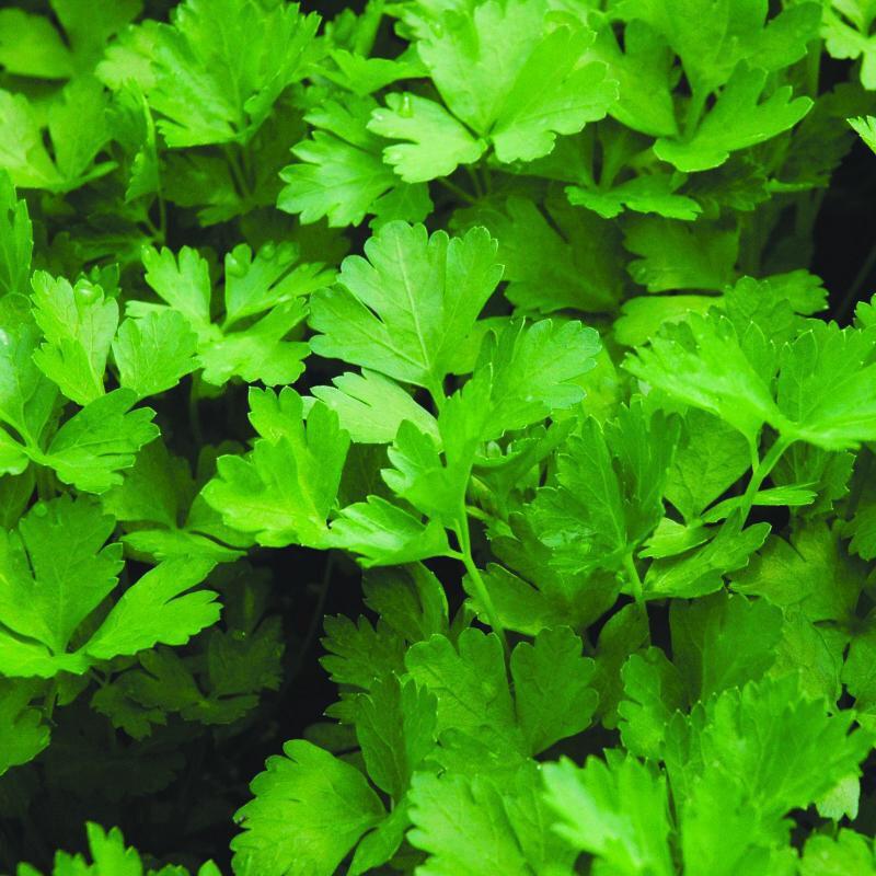 Herb Parsley That's Tasty ORGANIC