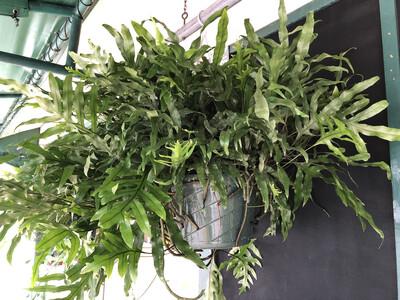 Hanging Basket Kangaroo Fern 12 inch
