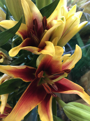 Lillies Asiatic Unscented Fall Colors