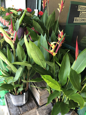 Heliconia 3 gal.