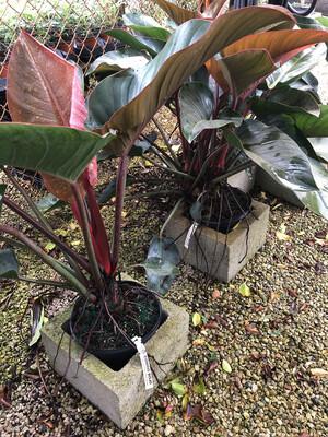 Philodendron Congo Rojo 3 gal.