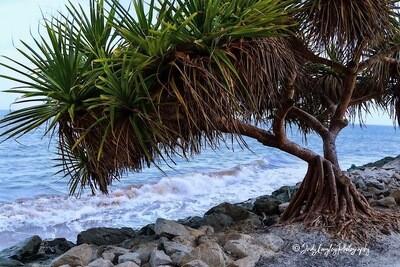Scotts Point  Pandanus Palms