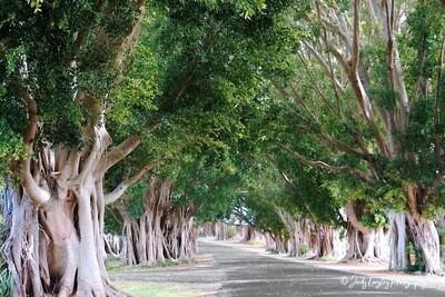 Fig Tree Avenue