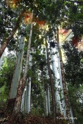Gum Trees Shady Canopy