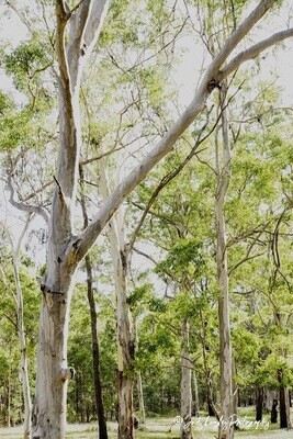 Gum Trees White