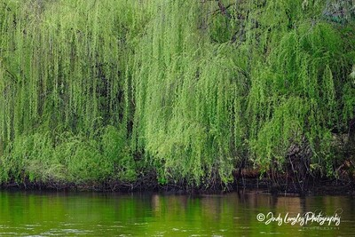 Willow Tree Reflections