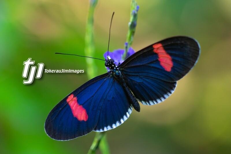 Postman Butterflies