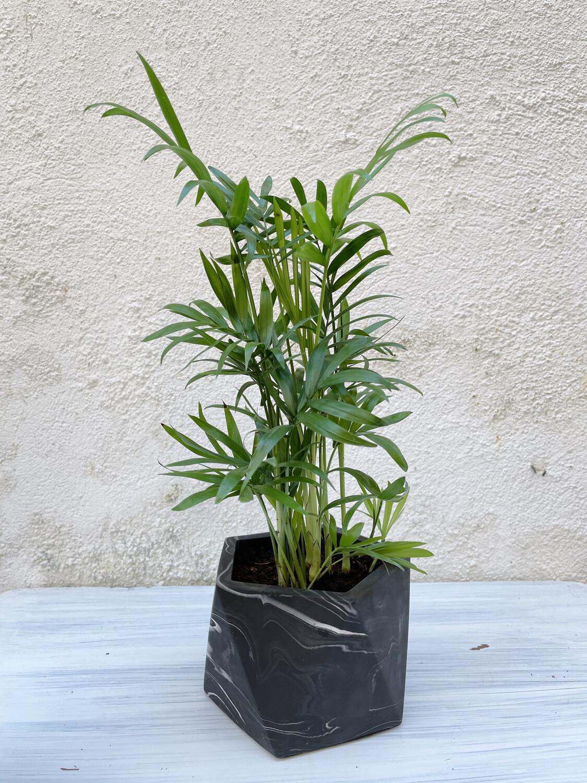 House Raccoon | Black marble pot with plant hamaedorea elegans - 10cm (plant included!)