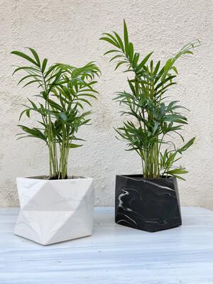 House Raccoon | White marble pot with plant hamaedorea elegans - 10cm (plant included!)