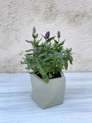 House Raccoon | Palua pot with plant Lavandula Hidcote Blue - Olive green (plant included!) 6cm