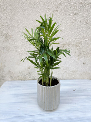 Kinta | Pot with plant hamaedorea elegans - Ecru/light grey (plant included!)