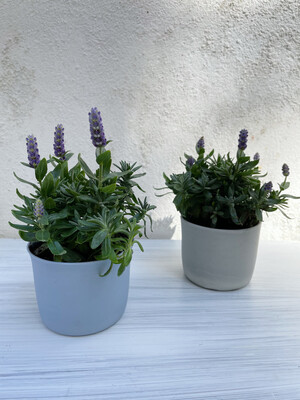 Sebastian Airey | Blue ceramic pot with plant Lavandula Hidcote Blue - 6cm (plant included!)