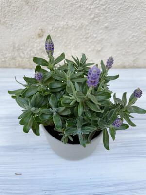 Sebastian Airey | Gray green ceramic pot with plant Lavandula Hidcote Blue - 6cm (plant included!)