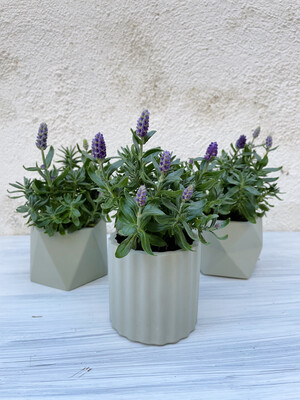 House Raccoon | Mila pot with plant Lavandula Hidcote Blue - Olive green (plant included!) 6cm
